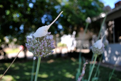 garlic 72