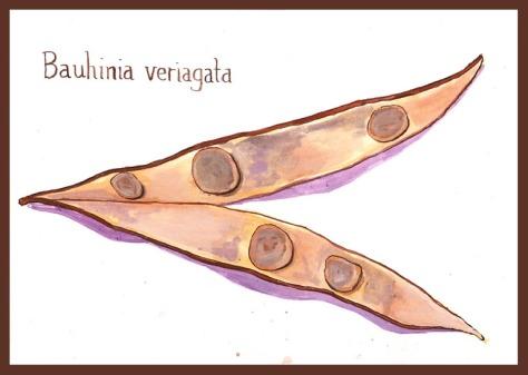 bauhinia seed pod 72 border